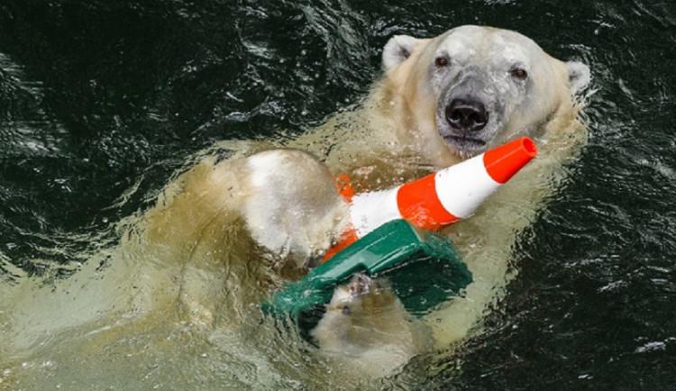Lední medvědi v Zoo Brno budou mít větší bazén