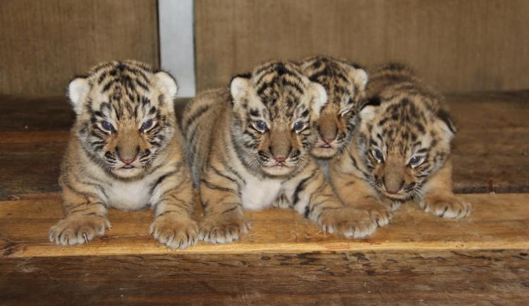 Tři tygři ussurijští z hodonínské zoo zamířili do Belgie