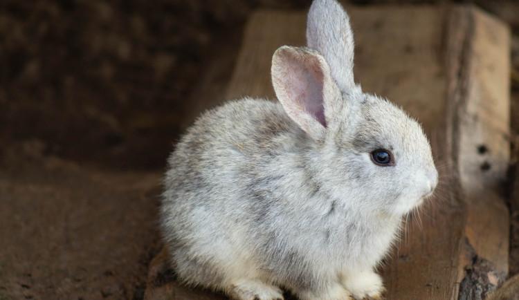 Chovatelé zakrslých králíků varují před nákupem mazlíčků z řetězců