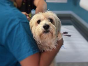 Veterináři teď čipují desítky psů denně. Očekávají i opozdilce v lednu