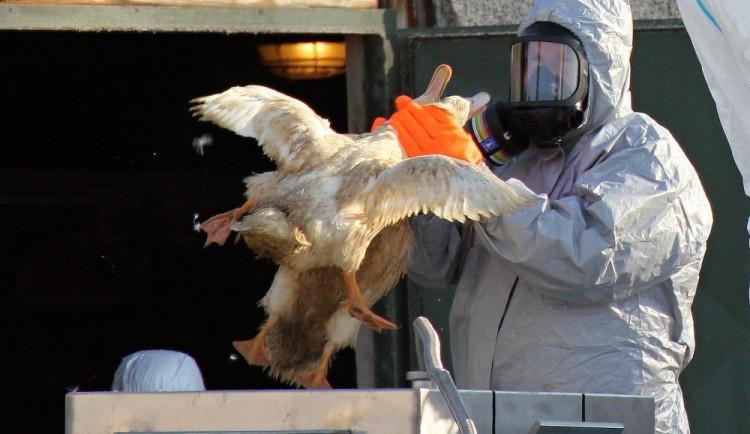 Na Vysočině se po třech letech objevila nákaza ptačí chřipkou