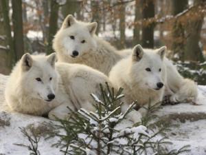 V brněnské zoo se z výběhu podhrabali čtyři vlci. Chovatelé je pochytali, zoo je ale zavřená