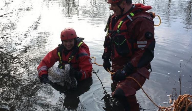 Brněnští hasiči zachránili z řeky zraněnou labuť, měla zlomené křídlo