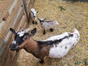 Letošními prvními mláďaty v Zoo Brno jsou kozy a čtyřoká ryba