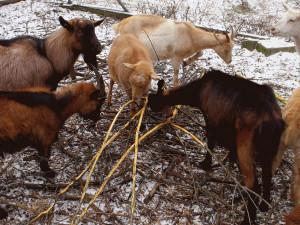 V brněnské Kozí zahradě někdo otrávil tisem jedenáct koz. Devět včetně březí samičky jich uhynulo