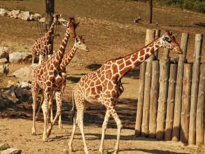 Zvířata ze zavřené Zoo Brno uvidíte denně z pohodlí domova. Zahrada posiluje živé přenosy a komentovaná krmení