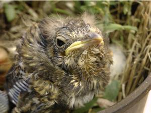 Ptákům na jaře hlad nehrozí, přehnaným krmením jim můžete i uškodit