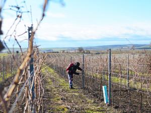 Vinaři se obávají o letošní sklizeň