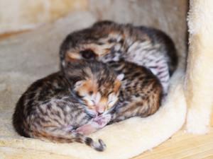 V Zooparku ve Vyškově se narodila čtyřčata kočky bengálské