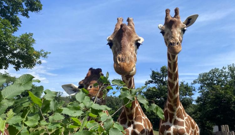 FOTO/VIDEO: Žirafa na dosah ruky nebo setkání s tapírem. Brněnská zoo nabízí unikátní zážitky