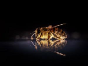 Kvůli postřikům, vysazování okrasných rostlin bez nektaru a sečení trávníků vymírají včely