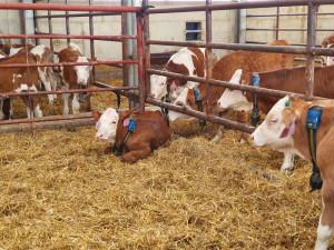 Vědci z Mendelovy univerzity testují speciální obojky pro býky. Pomohou farmářům s chovem
