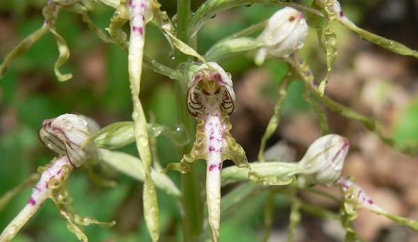 Botanici našli v Podyjí vzácnou orchidej. Spatřili ji poprvé po nejméně 70 letech