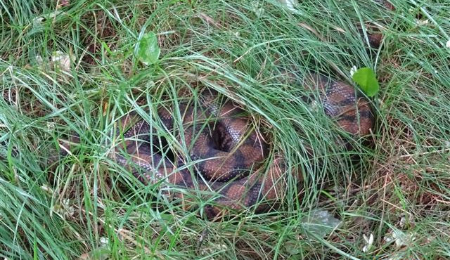 Žena našla u vchodu do domu v Bystrci dvoumetrového hada, strážníci odchytávali v Brně tento druhpoprvé