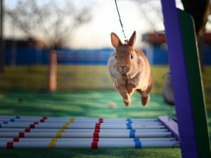 Skákat může jakýkoliv králík, hlavně ho to musí bavit, říká trenérka králičího hopu