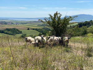 Na jižní Moravě přibývá míst, která spásají ovce a kozy