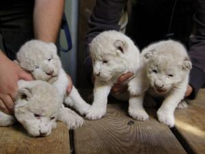 VIDEO: V hodonínské zoo se už podruhé narodila vzácná bílá lvíčata