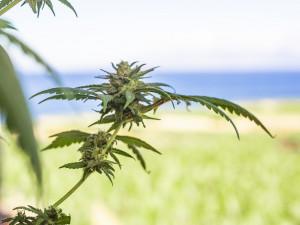 Žena zavolala policii na zloděje, který jí na zahradě kradl marihuanu