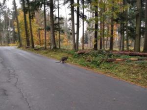 Vačnatec na výletě. Chovateli z Brněnska utekl klokan