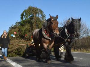 Vánoční strom dorazí do Brna v sobotu. Přiveze ho tradičně pár koní
