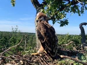 Vzácným orlům královským se na jižní Moravě daří. Letos vyvedli sedm mláďat
