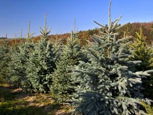 Při začátku adventu šly vánoční stromky na dračku. Lidé se nejspíš obávali opětovného lockdownu