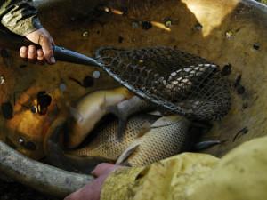 Vypuštění do rybníka ryba většinou nepřežije. Organizace protestují proti prodeji živých kaprů