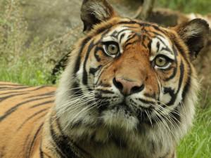Rok 2021 v brněnské zoo: výměna levhartů za tygry a nový žirafí samec
