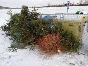 Vánoční stromky nepatří na chodník, do kontejneru ani do lesa. Kam s ním?