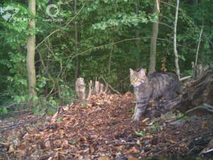 Hledá se kočka, pozor, divoká! Brněnští vědci znova objevují sto let vyhynulou šelmu