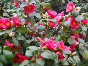 V zámeckých sklenících na Blanensku rozkvetly kamélie, lidé je ale kvůli covidu neuvidí