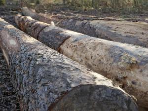 Muž nelegálně pokácel třináctimetrový strom, chtěl ušetřit