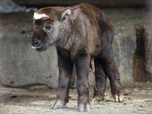 Brněnská ZOO vítá nová mláďata takinů i hlodavce z Minnesoty, do Polska poslala dvojici lvů