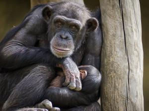 Na streamu z brněnské zoo se šimpanzi navzájem chlubí jídlem