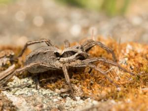 Vypalování trávy chrání vzácné pavouky, zjistili brněnští vědci