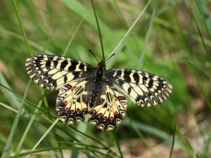 Motýli vymírají kvůli autům i zemědělským jedům, zjistili brněnští vědci