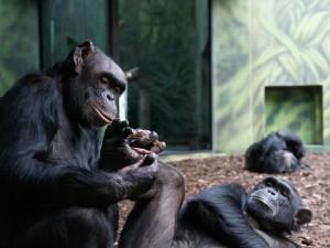 Šimpanze ze zoo a safari spojili videem, aby se nenudili