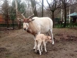 Obrovská radost v zoo. Narodilo se mládě vzácné pouštní antilopy
