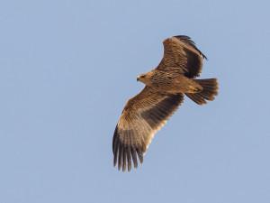 Vzácná orlice narazila do drátů vysokého napětí, starají se o ni v Rajhradě