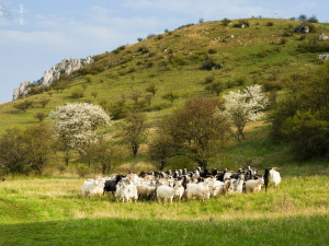 Na Stolové hoře na Pálavě se pase stádo ovcí a koz, hlídají je pastevečtí psi