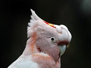 Zloděj se bál, že ho prozradí papoušci kakadu. Raději je vypustil ven