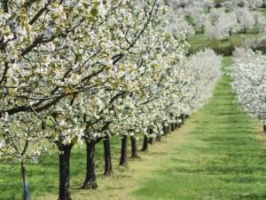 Zemědělci smutní, dubnové mrazíky zasáhly meruňky a třešně