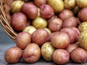 Vědci z Brna zjišťují, jak brambory zbavit plísní