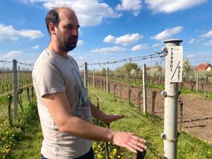 I přes mrazy se domácí vinaři těší na dobrou úrodu