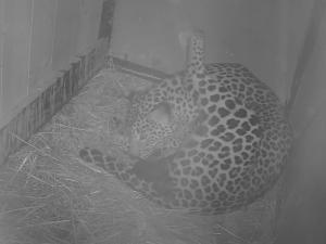 V brněnské zoo vykoukla na svět levhartí dvojčata