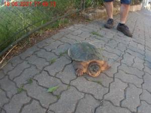 Nezvyklá návštěva Brna, ulicí se procházela želva