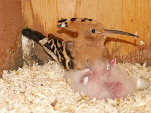 Brněnská zoo pomáhá ohroženým dudkům. Ptáčci se líhnou ve speciální budce