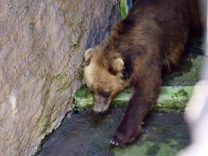 Do Brna přijela z Francie medvědice Irina, stala se novou atrakcí zoologické