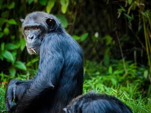 Nový domov šimpanzů v brněnské zoo vyjde na sto milionů korun