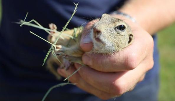 Ohroženým syslům se u letiště daří, Zoo Brno do přírody vypustila další